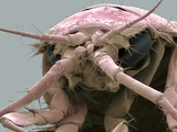 Freshwater Shrimp  SEM