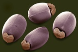 Euphorbia Seeds  SEM