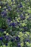 Sea Holly Flower Heads