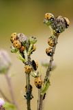 Seven-spot Ladybirds Eating Aphids