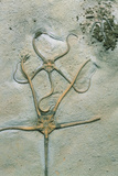 Brittle Star Fossils