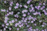 Geranium Asphodeloides Flowers