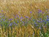 Cornflowers (Centaurea Cyanus)