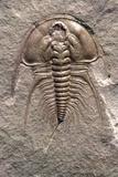 Olenellus Gilberti Trilobite Fossil
