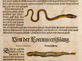 1558 Gessner Baby Sea Serpent Or Eel