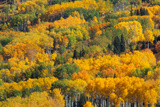 Aspens In Autumn  British Columbia
