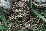 Leopard Snake