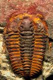 Trilobite Fossil