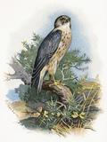 Merlin  Historical Artwork