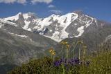 Arnica Montana And Mont Blanc