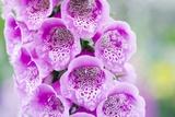 Foxglove( Digitalis Purpurea Excelsior)
