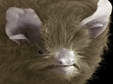 Head of a Pipistrelle Bat