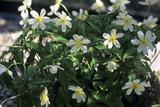 Anemone 'Pallida' Flowers