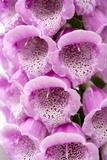 Foxglove (Digitalis Purpurea Excelsior)