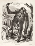 1861 Du Chaillu Ape the Gorilla