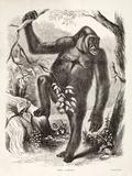 1861 Du Chaillu Ape the Gorilla
