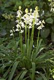 Bluebells (Hyacinthoides Sp)