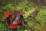 Reishi Fungus