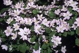 Anemone 'Amelia' Flowers