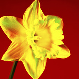 Daffodil (Narcissus Sp)