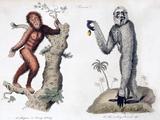 1812 Orang Utan Pan Satyrus And Hylobates
