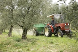 Farmer Spreading Manure In An Olive Grove
