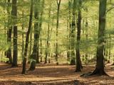 European Beech Forest (Fagus Sylvatica)