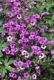 Geranium Flowers (Geranium 'Patricia')