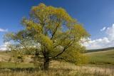 Crack Willow (Salix Fragilis)