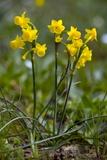 Jonquil Daffodil (Narcissus Jonquilla)