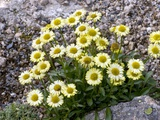 Yellow Alpine Fleabane (Erigeron Aureus)