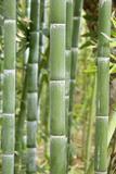 Bamboo (Phyllostachys Sp)