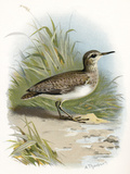 Sandpiper  Historical Artwork