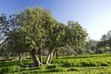 Carob (Ceratonia Siliqua) Orchard