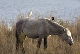 Cattle Egret And Magpie on a Horse