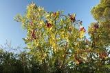 Galls on Terebinth (Pistacia Terebinthus)