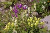 Alpine Flowers In Wyoming  USA