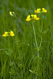 Lotus Corniculatus Var Sativus