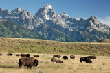 Herd of American Bison