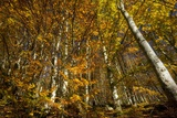 Beech Woodland In Autumn