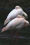 Flamingos Preening