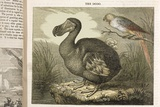 1833 Fat Dodo From the Penny Magazine