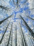 Snow Covered Aspen (Populus Tremula)