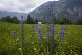 Bugloss (Echium Vulgare)