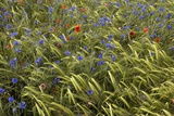 Cornfield Meadow In France