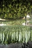 Tobacco Farming