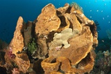Giant Frogfish on a Large Sponge