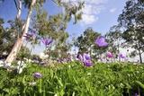 Poppy Anemones (Anemone Coronaria)