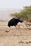 Ostrich on a Nature Reserve  Israel