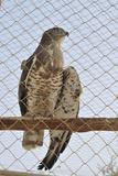 Wounded Goshawk  Accipiter Gentilis